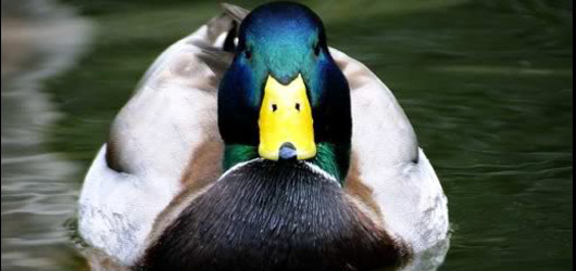 Anatidaephobia is the fear that somewhere there is a duck watching you
