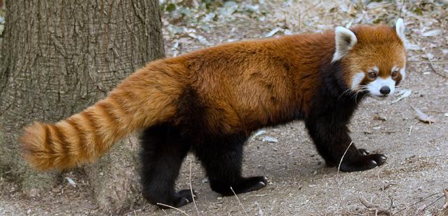 The animal of Firefox isn't a fox