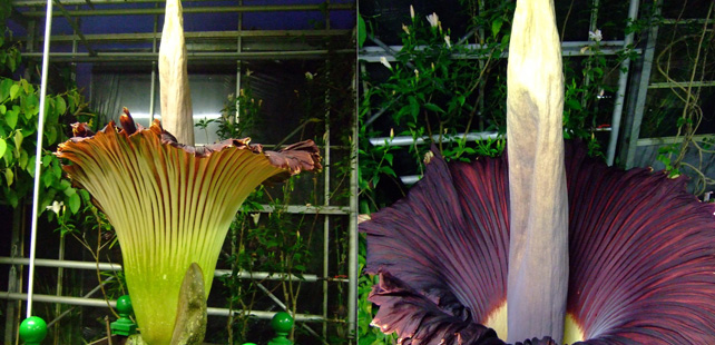The largest flower in the world can be more than 3 meters tall and smells like rotten meat!