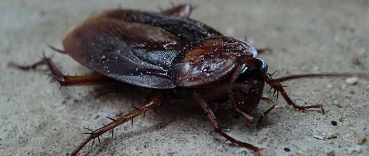 Cockroaches can live for several weeks without a head!