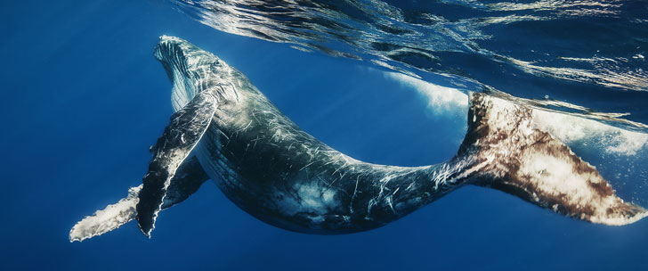 The blue whale is the animal with the biggest ejaculation of 20 liters of sperm every time!