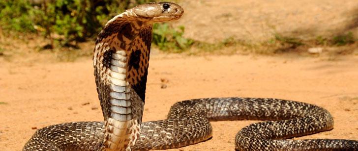 Le saviez-vous?Un cobra mord un cuisinier et le tue 20 minutes après avoir été décapité ! Cobra-morsure