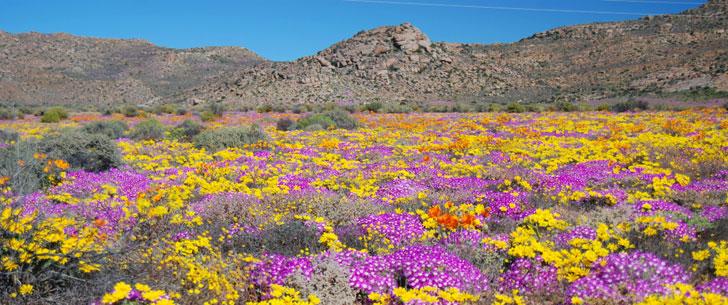 Il existe un désert qui se transforme chaque printemps en une vaste étendue de fleurs !